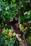 Un Gibbon dehors dans la forêt pendant d'un arbre de jungle Images libres de droits