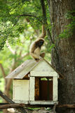 Un gibbone bianco che si siede sul tetto della casa sull'albero di legno fotografie stock