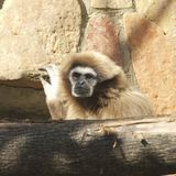Un gibbone del lar guarda fuori da dietro un troncone immagine stock