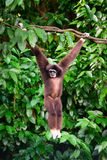 Un gibbone nella foresta che pende da un albero nella giungla Fotografia Stock Libera da Diritti