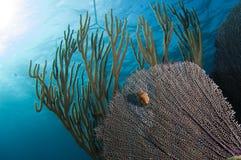 Un gibbosum de *Cyphoma de Toungue de flamant) contre une fan de mer Photographie stock