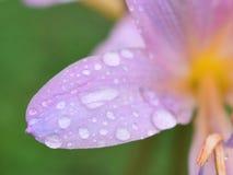Un giglio di sorpresa dopo una pioggia Fotografie Stock Libere da Diritti