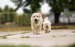 Un gioco dei due cani immagine stock libera da diritti