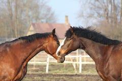 Un gioco dei due cavalli di baia Fotografia Stock Libera da Diritti