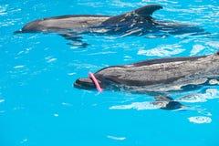 Un gioco dei due delfini Fotografia Stock