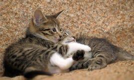 Un gioco dei due gattini Fotografia Stock