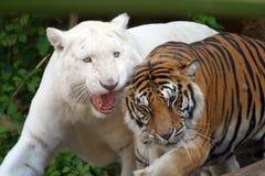 Un gioco delle due tigri Fotografia Stock Libera da Diritti