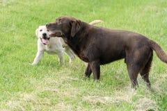 Un gioco di due cani in un parco Immagini Stock