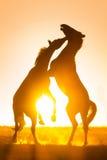 Un gioco di due cavalli Immagini Stock Libere da Diritti