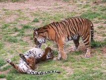 Un gioco di due cuccioli di tigre Immagine Stock Libera da Diritti