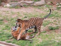 Un gioco di due cuccioli di tigre Immagine Stock
