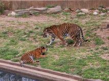Un gioco di due cuccioli di tigre Fotografia Stock