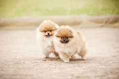 Un gioco di due di Pomeranian cuccioli dello Spitz Fotografie Stock Libere da Diritti