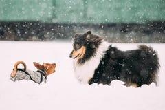 Un gioco divertente di due cani insieme Perni miniatura marrone-rosso del cane divertente fotografia stock libera da diritti
