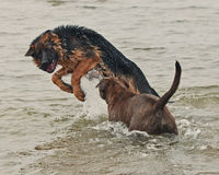Un gioco e una lotta di due cuccioli Fotografie Stock Libere da Diritti