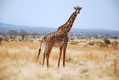 Un giorno del safari in Tanzania - in Africa - giraffa Fotografia Stock Libera da Diritti