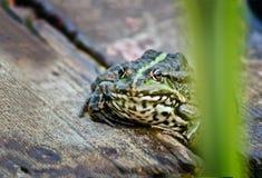 Un giorno di estate caldo una rana   sul lago. Fotografia Stock Libera da Diritti