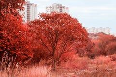Un giovane albero in un giardino di autunno contro un contesto di alte case della città Fotografie Stock