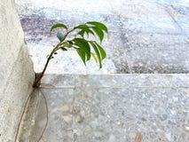 Un giovane albero prova a sopravvivere in alla crepa del ` s della costruzione immagini stock