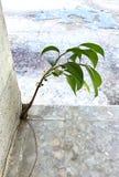Un giovane albero prova a sopravvivere in alla crepa del ` s della costruzione fotografia stock