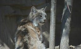 Un giovane cammeo di Lynx Fotografie Stock