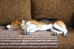 Un giovane cane del cane da lepre si trova sul sofà immagini stock libere da diritti