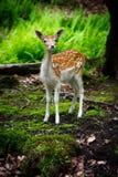 Un giovane cervo di aratura curioso Fotografie Stock