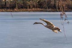Un giovane cigno muto grigio che vola intorno sopra un lago congelato Immagini Stock