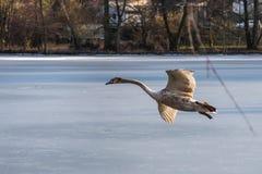 Un giovane cigno muto grigio che vola intorno sopra un lago congelato Immagine Stock Libera da Diritti