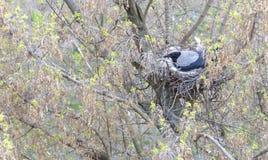 Un giovane corvo in molla in anticipo resa ad un nido su un albero ed incuba i pulcini Fotografia Stock