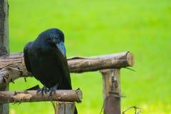 Un giovane corvo nero adorabile, distogliente lo sguardo timido, mentre appollaiato su un supporto boscoso dell'albero, in un cam fotografie stock libere da diritti