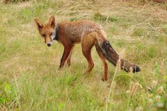 Un giovane cucciolo della volpe calpesta prudentemente fotografia stock