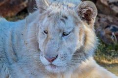Un giovane cucciolo di tigre bianco sveglio in una riserva di caccia fotografie stock libere da diritti