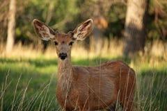 Un giovane dollaro dei cervi muli ascolta con attenzione con le grandi orecchie Fotografie Stock