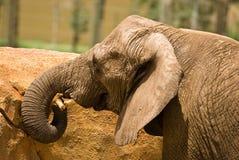 Un giovane elefante coperto di sporcizia che gioca con un bastone Fotografie Stock Libere da Diritti
