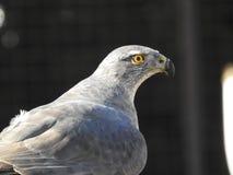Un giovane falco maschio che esamina il suo proprietario fotografia stock libera da diritti