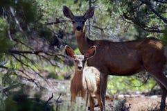 Un giovane fawn con sua madre Immagine Stock