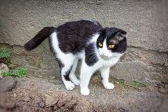 Un giovane gatto di colore in bianco e nero Fotografia Stock Libera da Diritti