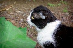 Un giovane gatto di colore in bianco e nero Immagine Stock