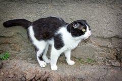 Un giovane gatto di colore in bianco e nero Fotografia Stock