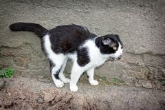 Un giovane gatto di colore in bianco e nero Fotografie Stock Libere da Diritti