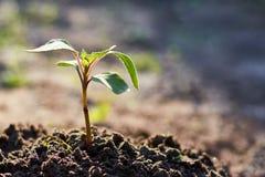 Un giovane germoglio si è sviluppato dalla terra nel giardino Il concetto di vita e di forza Immagine Stock Libera da Diritti