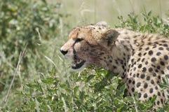 Un giovane ghepardo (jubatus del Acinonyx) Immagine Stock