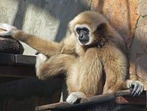 Un giovane gibbone del lar è sedentesi e tenente con due mani e un piede immagine stock libera da diritti