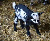 Un giovane goatling in bianco e nero è in zoo Fotografie Stock