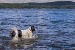 Un giovane Landseer che gode di un bagno in un lago Fotografia Stock Libera da Diritti