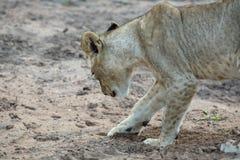 Un giovane leone femminile che graffia nella sabbia fotografia stock