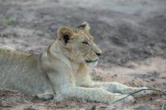Un giovane leone maschio che riposa all'aperto fotografia stock libera da diritti