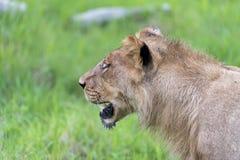 Un giovane leone maschio di mattina (alti vicini) fotografia stock