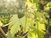 Un giovane mazzo di uva Fotografia Stock